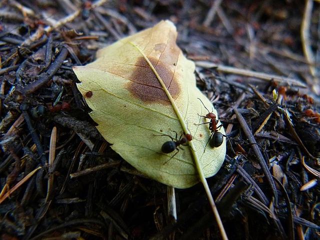 красный, черный, муравьи