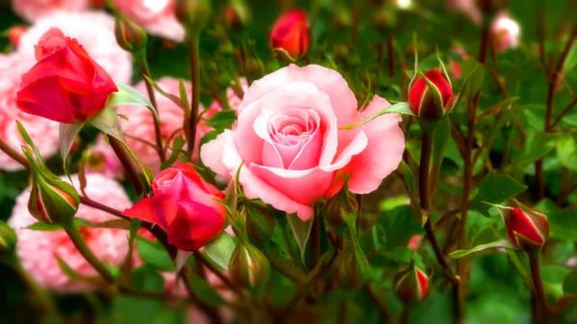 Сажаем розы (ответы на вопросы)