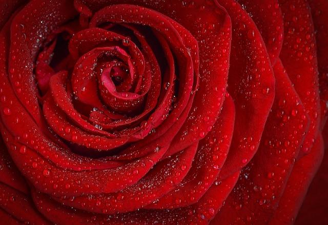 роуз, красный, роза