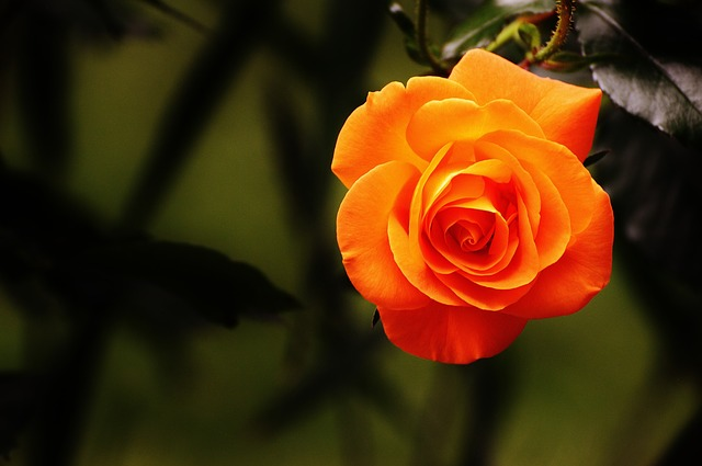 роуз, оранжевый, цвести