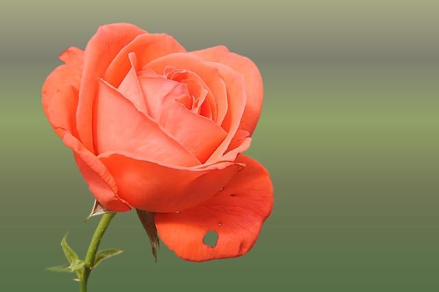 роуз, оранжевый, лосось