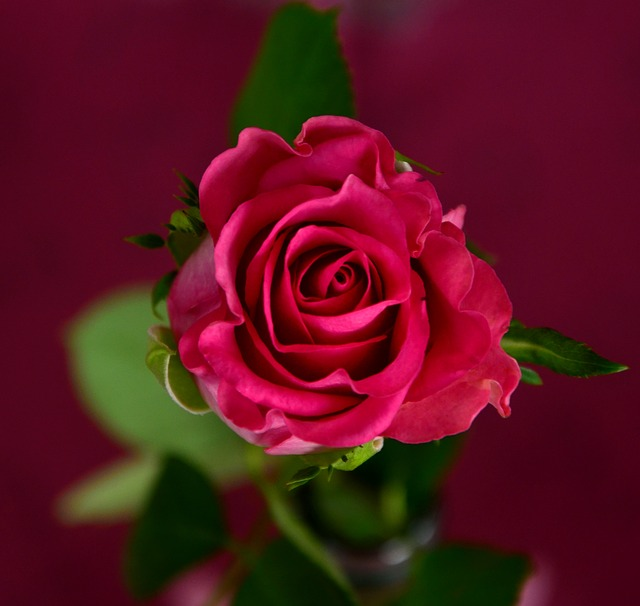 роуз, розовый, цвести