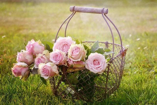розы, цвести, розовая роза