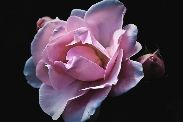 розы, цветок, природы
