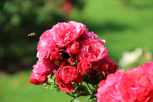 ирина, розы, розарий