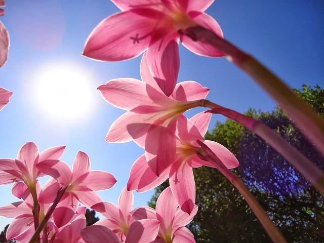 цветы, розовые цветы, шафран