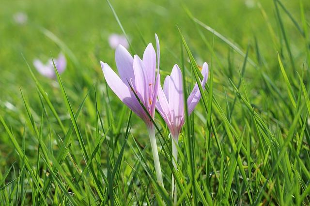 крокус, луг шафран, цветок