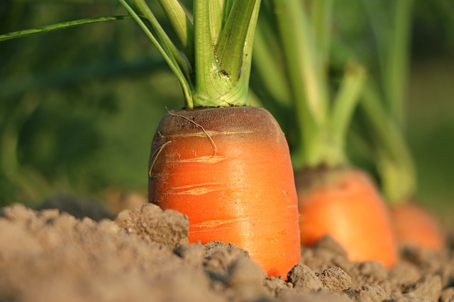 морковь, грядка, рост