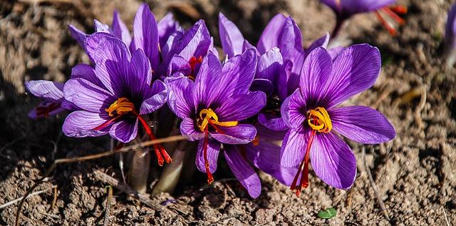 шафран, цветок, природа