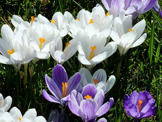 синий, прицветники цветок, рано блумер