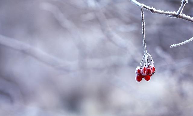 замороженные, ягоды, красный